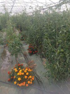 Plants de tomate